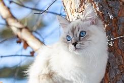 Котенок Невской маскарадной кошки 5 месяцев, окрас колор-поинт, Joffrina Luxury