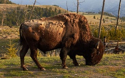 The national mammal, an American bison in Yellowstone National Park, Wyoming