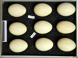Eggs, collection Museum Wiesbaden