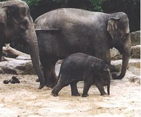 The population of Asian elephants in Thailand's wild has dropped to an estimated 2,000–3,000.[62]