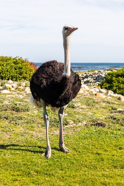 Male ostrich at the Cape of Good Hope