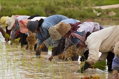 Farmers planting rice in Cambodia