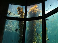 Giant kelp in Monterey Bay Aquarium's Kelp Forest exhibit