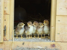 Chicks before their first outing