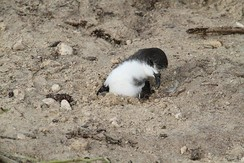 A Bonin petrel trapped in the sand on Midway Atoll by the tsunami, before being rescued