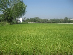 Agriculture in Nellore—rice paddy fields