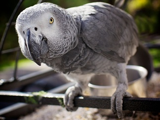 A grey parrot peers into the camera