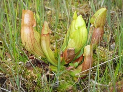Carnivorous plants, such as this Sarracenia purpurea pitcher plant of the eastern seaboard of North America, are often found in bogs. Capturing insects provides nitrogen and phosphorus, which are usually scarce in such conditions.