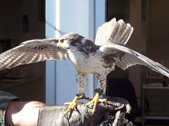 Echo, one of USAFA's trained prairie falcon mascots