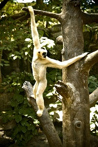 Gibbons are very good brachiators because their elongated limbs enable them to easily swing and grasp on to branches.