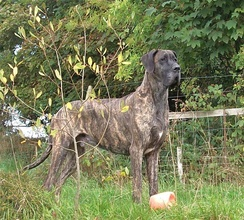 Brindle Great Dane (male)