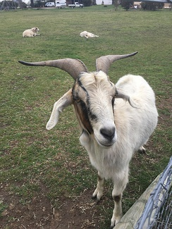Goat found in Australia