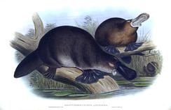 Утконос на рисунке XIX века