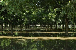Pecan trees being irrigated in Anthony, New Mexico