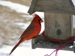 A male northern cardinal at a bird feeder.  Birds feeding at a bird feeder is an example of a dispersion economy. This is when it may not be in an animal's best interest to forage in a group.