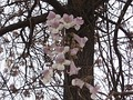 Цветки Paulownia fortunei