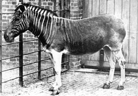 A true quagga, 1870 (left) vs. a bred-back quagga, 2014 (right)