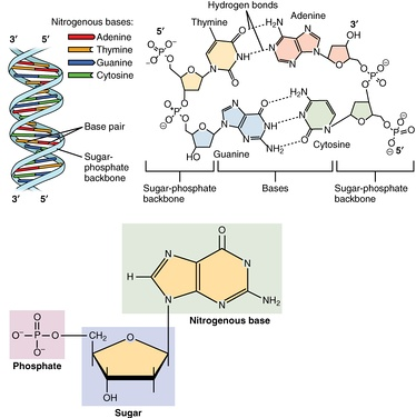 The structure of deoxyribonucleic acid (DNA), the picture shows the monomers being put together.