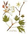 Ботанический рисунок из книги «Afbeeldingen der fraaiste» by Johan Carl Krauss. Amsterdam, Johannes Allart, 1802—1808.