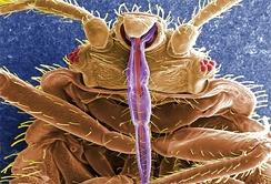Изображение клопа вида Cimex lectularius, полученное на растровом электронном микроскопе. Цвета добавлены при цифровой обработке; части ротового аппарата, предназначенные для прокалывания кожи, выделены фиолетовым и красным.