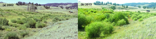 Riparian willow recovery at Blacktail Creek, Yellowstone National Park, after reintroduction of wolves, the local keystone species and apex predator.[142] Left, in 2002; right, in 2015