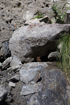 Himalayan Pika as seen in the Annapurna Conservation Area, Nepal.