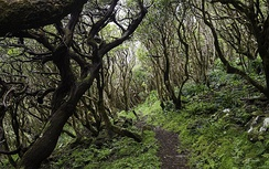 Macaronesian Laurisilva forest on Flores Island.