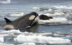 Orca (Orcinus orca) hunting a Weddell seal in the Southern Ocean.
