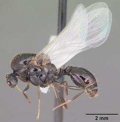 Самец Solenopsis invicta