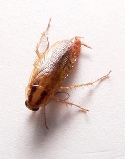 Самка рыжего таракана с крыльями