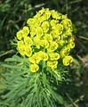 Euphorbia cyparissias (cyathia in an umbel)