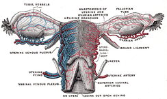 Vessels of the uterus and its appendages, rear view.