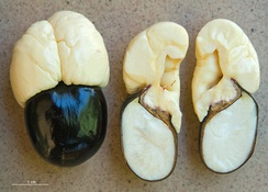 Blighia, Akee seeds, one whole, one in longitudinal section, showing the pale aril