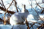 Arctic hares in the low arctic change from brown to white in winter