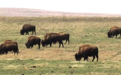 Bison at the Tallgrass Prairie Preserve in Oklahoma