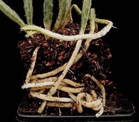 Столоны у Euphorbia taruensis