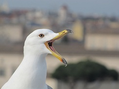 A gull's upper mandible can flex upwards because it is supported by small bones which can move slightly backwards and forwards.