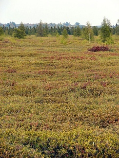 Mer Bleue Bog, a typical peat bog, in Ontario, Canada.