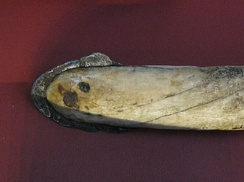 Iron harpoon head from Greenland. The iron edge covers a narwhaltusk harpoon using meteorite iron from the Cape York meteorite, one of the largest iron meteorites known.