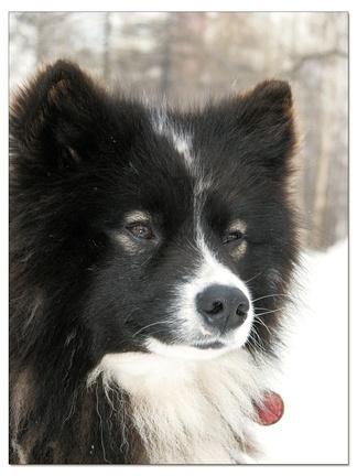 Ненецкая лайка, оленегонка (молодой кобель).