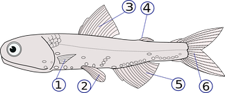 Aquatic animals typically use fins for locomotion(1) pectoral fins (paired), (2) pelvic fins (paired), (3) dorsal fin, (4) adipose fin, (5) anal fin, (6) caudal (tail) fin