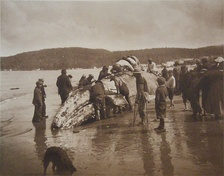 Makah Native Americans and a whale, pictured in 1910 by Asahel Curtis. (The photo's title is The King of the Seas in the Hands of the Makahs.)