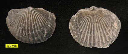 Tropidoleptus carinatus, an orthid brachiopod from the Middle Devonian of New York.