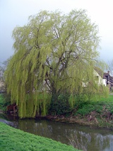 Weeping willow in alconbury.jpg
