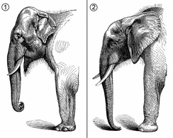 Comparative morphology of head and forepart of the body of the Asian elephant (1) and the African elephant (2)