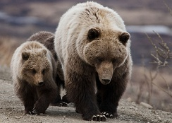 Grizzly bear cubs often imitate their mothers closely