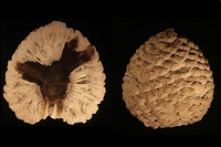 Petrified cone of Araucaria mirabilis from Patagonia, Argentina dating from the Jurassic Period (approx. 210 Ma)