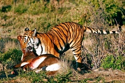 A tiger of the Save China's Tigers project with his kill