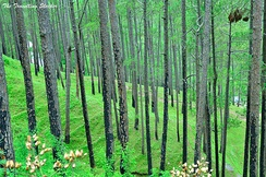 Forests in Almora over hills