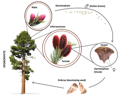 Example of gymnosperm lifecycle